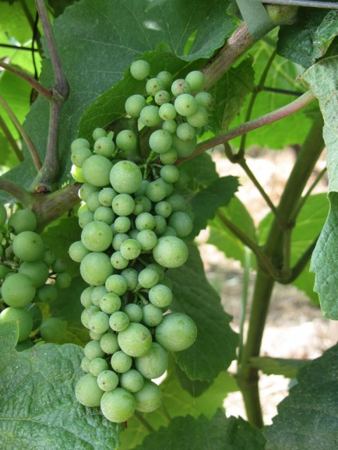 druiven wijn Wezemaal