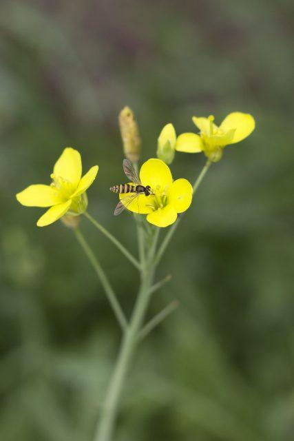 Bloemen rucola